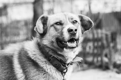 Schwarzweiss-Foto des netten Hundes mit einem Kragen Lizenzfreies Stockfoto