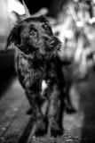 Schwarzweiss-Foto eines verlassenen Hundes Lizenzfreies Stockfoto