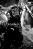 Schwarzweiss-Foto eines verlassenen Hundes Lizenzfreies Stockbild