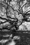 Schwarzweiss-Foto von Angel Oak Tree Lizenzfreie Stockfotografie