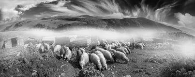 Schwarzweiss-Foto von Schafen Stockfoto