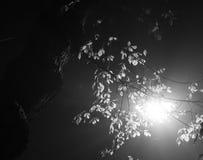 Schwarzweiss-Foto von Straßenlaterne glänzend von hinten belaubte Baumbrunchs nachts Stockbild