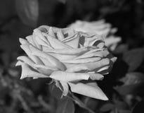 Schwarzweiss-Fotografie einer Rose stockfoto