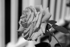 Schwarzweiss-Fotografie einer Rose und des Zauns lizenzfreies stockfoto