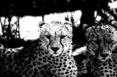 Schwarzweiss-Gepard-Brüder lizenzfreie stockfotografie