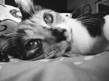 Schwarzweiss-getigerte Katze Stockbilder