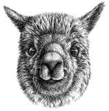 Schwarzweiss gravieren Sie lokalisierte Lamaillustration Lizenzfreie Stockbilder