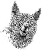 Schwarzweiss gravieren Sie lokalisierte Lamaillustration Lizenzfreie Stockfotos
