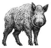 Schwarzweiss gravieren Sie lokalisierte Schweinillustration Lizenzfreie Stockfotos
