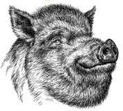 Schwarzweiss gravieren Sie lokalisierte Schweinillustration Stockfotos