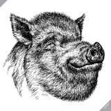 Schwarzweiss gravieren Sie lokalisierte Schweinvektorillustration Stockfoto