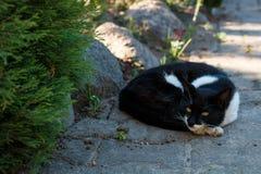 Schwarzweiss-Haustierkatze liegt auf dem Gartenweg Stockfotografie