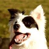 Schwarzweiss-Hund (20) Stockfoto