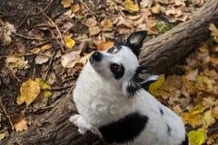 Schwarzweiss-Hund auf einem Weg in der Herbstwaldherbststimmung stockfotografie