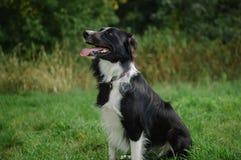Schwarzweiss-Hund, der auf dem grünen Gras während des heißen Sommertages sitzt lizenzfreie stockbilder