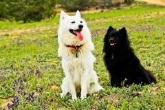 Schwarzweiss-Hunde Stockfoto