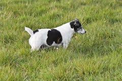 Schwarzweiss--Jack Russell-Terrierjagd lizenzfreies stockbild