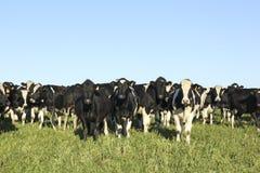 Schwarzweiss-Kühe auf einem Bauernhof in ländlichem Amerika. Stockfoto