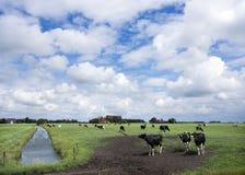 Schwarzweiss-Kühe in der Wiese nahe Kanal in der niederländischen Provinz von f Lizenzfreie Stockfotografie