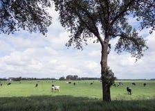 Schwarzweiss-Kühe in der Wiese und in den Bauernhöfen in der niederländischen Provinz von Franc Lizenzfreie Stockfotografie
