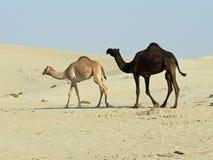 Schwarzweiss-Kamele Stockfotografie