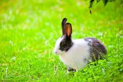 Schwarzweiss-Kaninchen, das auf dem grünen Gras mit den angehobenen Ohren sitzt Stockfoto
