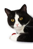Schwarzweiss-Katze Lizenzfreie Stockbilder