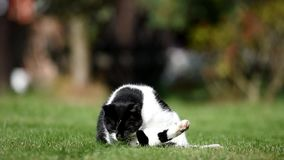 Schwarzweiss-Katze auf dem Garten stock video