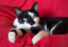 Schwarzweiss-Katze auf einem roten Hintergrund Lizenzfreies Stockbild