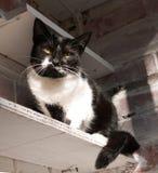 Schwarzweiss-Katze, die auf Regal sitzt Stockfoto