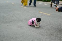 Schwarzweiss-Katze, die ein rosa Hemd auf Straße trägt lizenzfreies stockfoto