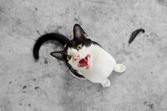 Schwarzweiss-Katze, die entlang der Kamera anstarrt Lizenzfreies Stockfoto