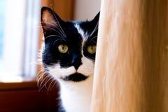 Schwarzweiss-Katze, die hinter einem Vorhang sich versteckt Stockfoto