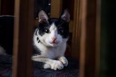 Schwarzweiss-Katze, die Kamera betrachtet Stockfotos
