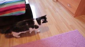 Schwarzweiss-Katze, die Lippen leckt und um Ebene geht Innenwohnung stock footage