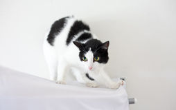 Schwarzweiss-Katze im Reinraum Stockfoto
