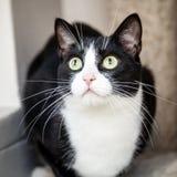 Schwarzweiss-Katze mit den grünen Augen, die oben überrascht schauen Stockfotos