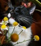 Schwarzweiss-Katze mit Vergnügen schnüffelt Kamille lizenzfreie stockfotografie