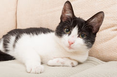 Schwarzweiss-Katze oder Haustier Stockfotos