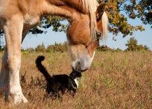 Schwarzweiss-Katze und sein Freund, belgisches Pferd stockfotografie