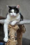 Schwarzweiss-Katzenlügen lizenzfreie stockbilder
