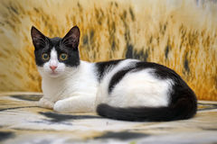 Schwarzweiss-Katzenlügen stockfoto