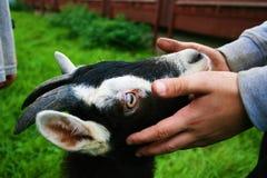 Schwarzweiss-Kind Goat& x27; s-Kopf, der durch Child& x27 gehalten wird; s-Hände Lizenzfreie Stockbilder