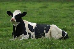 Schwarzweiss-Kuh lizenzfreies stockfoto