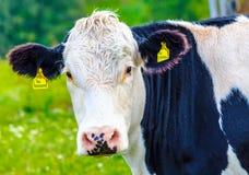 Schwarzweiss-Kuh auf der Wiese Stockbilder
