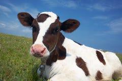 Schwarzweiss-Kuh auf einem Gebiet stockfoto
