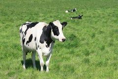 Schwarzweiss-Kuh in der Weide Stockbild