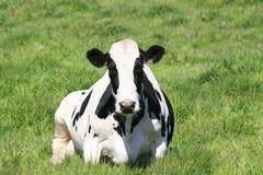 Schwarzweiss-Kuh in der Weide Stockfotos