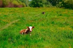 Schwarzweiss-Kuh, die auf Wiese in den Bergen weiden lässt Vieh auf einer Sommerweide Sonniger Tag des Sommers Kuh in der Weide B Lizenzfreie Stockfotografie