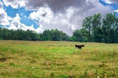 Schwarzweiss-Kuh, die auf Wiese in den Bergen weiden lässt Vieh auf einer Sommerweide Sonniger Tag des Sommers Kuh in der Weide B Stockbilder